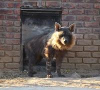 Bruin Hyena